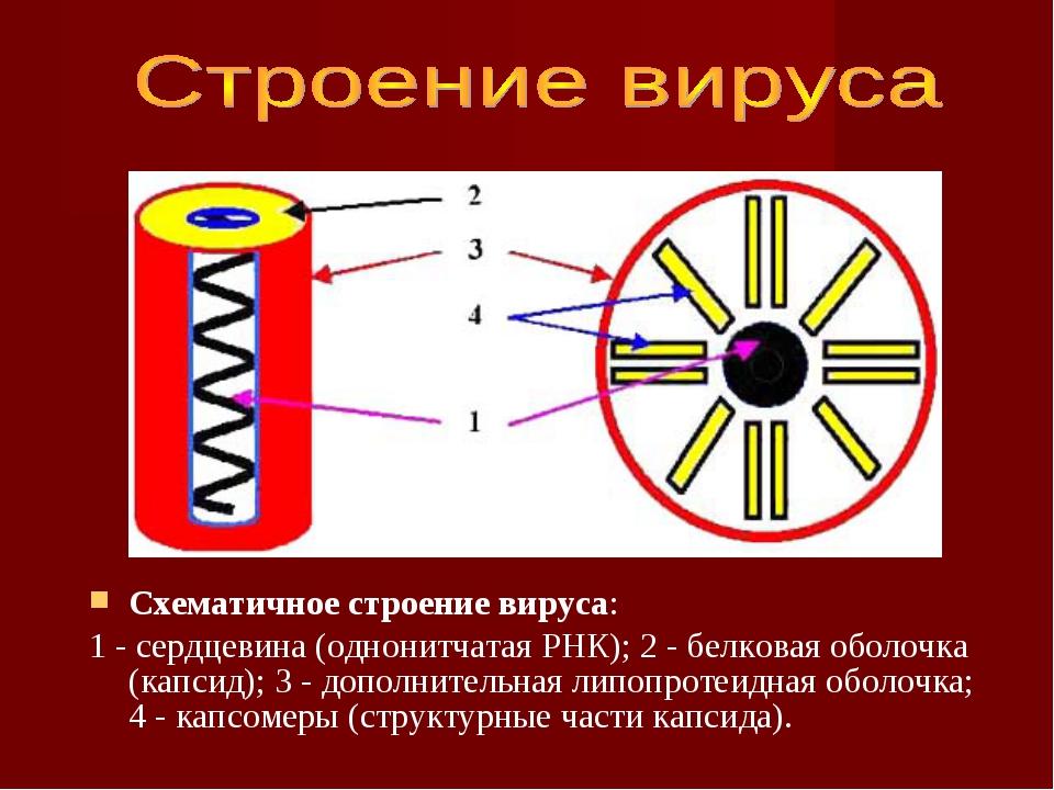 Схематичное строение вируса: 1 - сердцевина (однонитчатая РНК); 2 - белковая...