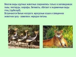 Многие виды крупных животных сохранились только в заповедниках: львы, леопард