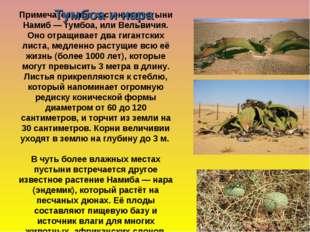 Примечательное растение пустыни Намиб— тумбоа, или Вельвичия. Оно отращивае