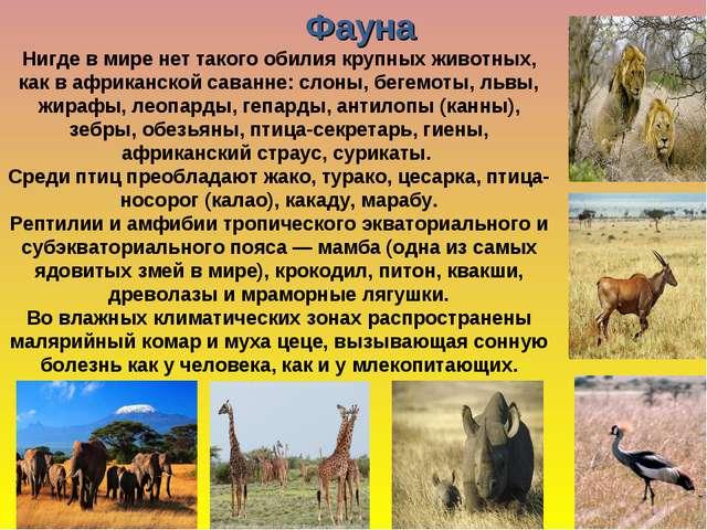 Нигде в мире нет такого обилия крупных животных, как в африканской саванне: с...