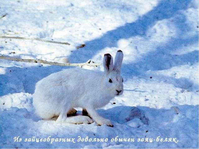 Из зайцеобразных довольно обычен заяц-беляк.