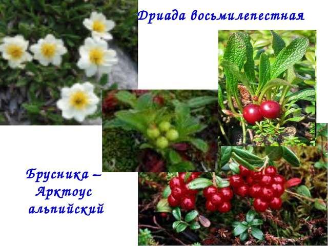 Дриада восьмилепестная Брусника – Арктоус альпийский