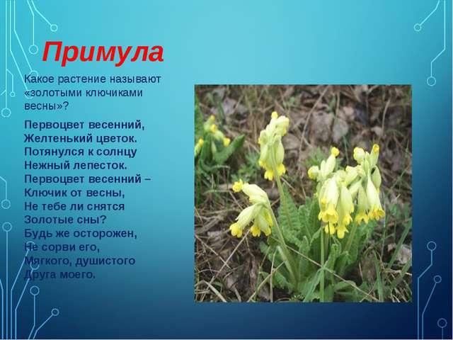 Примула Какое растение называют «золотыми ключиками весны»? Первоцвет весенни...