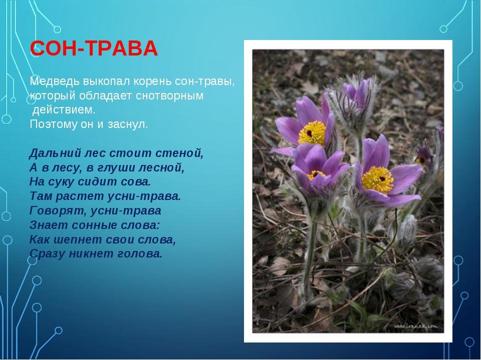 Медведь выкопал корень сон-травы, который обладает снотворным действием. Поэт...