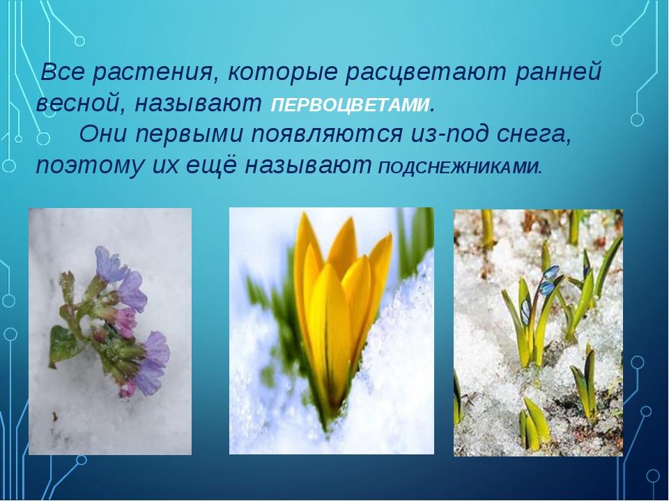 Все растения, которые расцветают ранней весной, называют ПЕРВОЦВЕТАМИ. Они п...