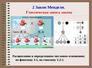 2 Закон Менделя. Генетическая запись закона Расщепление в определенном числов