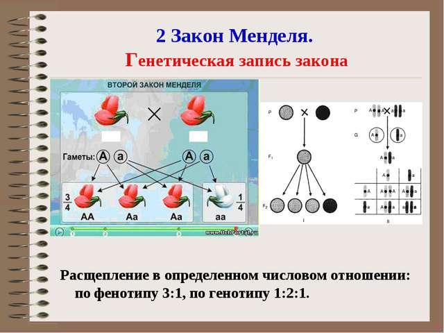 2 Закон Менделя. Генетическая запись закона Расщепление в определенном числов...