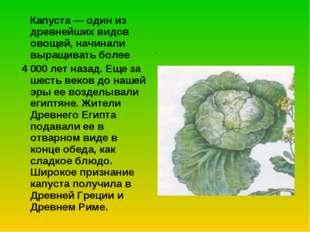 Капуста — один из древнейших видов овощей, начинали выращивать более 4 000 л