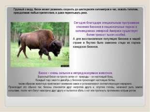 Грузный с виду, бизон может развивать скорость до шестидесяти километров в ча