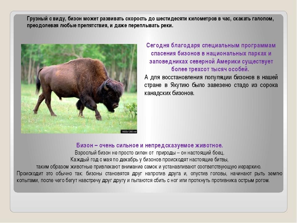 Грузный с виду, бизон может развивать скорость до шестидесяти километров в ча...