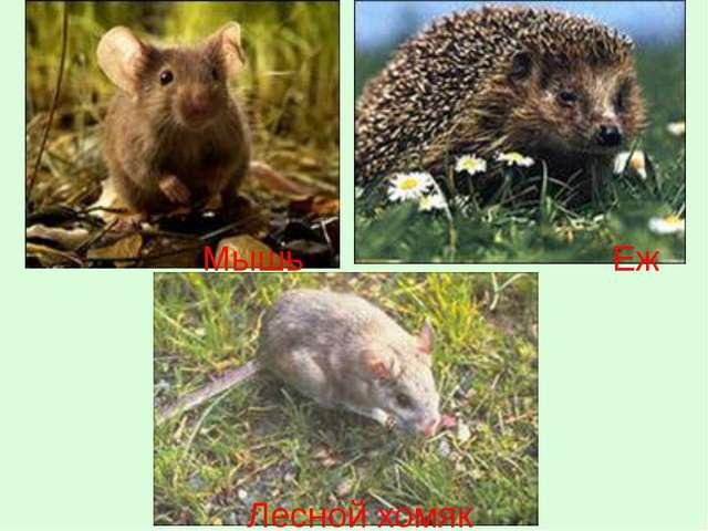 Мышь Еж Лесной хомяк