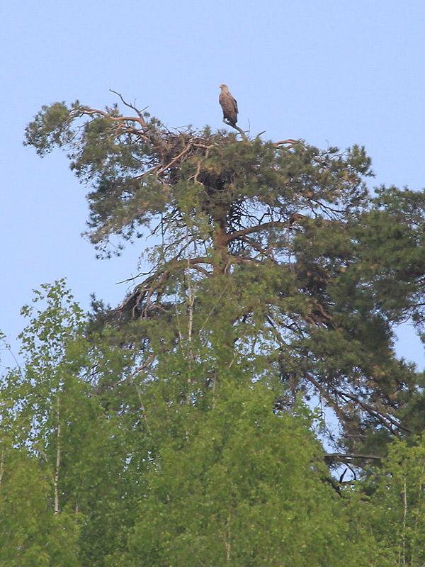 Орлан-белохвост на гнезде. Фото Р. Бекмансурова