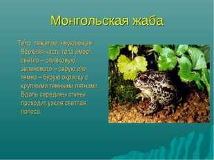 Монгольская жаба Тело тяжелое, неуклюжее. Верхняя часть тела имеет светло – о