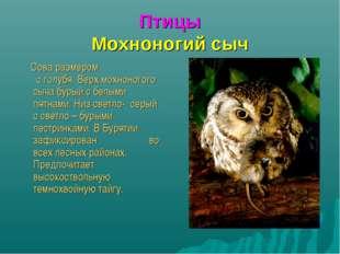 Птицы Мохноногий сыч Сова размером с голубя. Верх мохноногого сыча бурый с бе