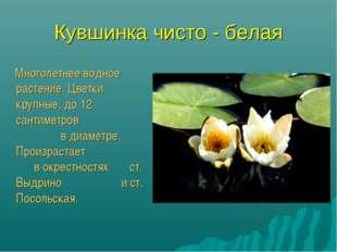 Кувшинка чисто - белая Многолетнее водное растение. Цветки крупные, до 12 сан
