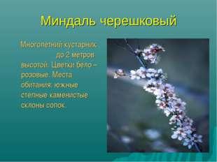 Миндаль черешковый Многолетний кустарник до 2 метров высотой. Цветки бело – р