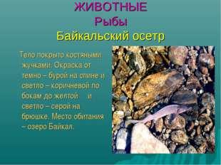 ЖИВОТНЫЕ Рыбы Байкальский осетр Тело покрыто костяными жучками. Окраска от те