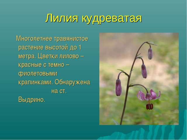 Лилия кудреватая Многолетнее травянистое растение высотой до 1 метра. Цветки...