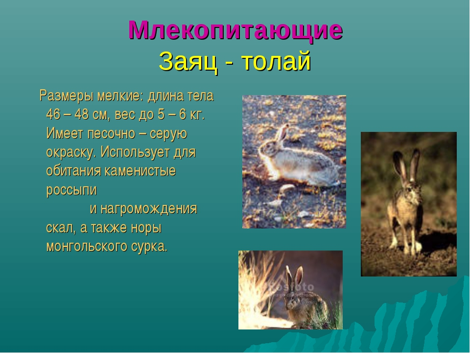 Млекопитающие Заяц - толай Размеры мелкие: длина тела 46 – 48 см, вес до 5 –...
