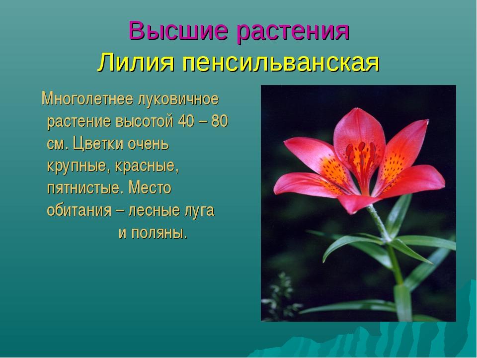 Высшие растения Лилия пенсильванская Многолетнее луковичное растение высотой...