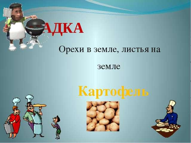 ЗАГАДКА Орехи в земле, листья на земле Картофель