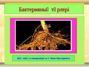 Бактерияның түрлері Жоңышқа тамырындағы түйнек бактериясы