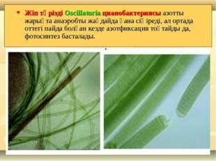 Жіп тәрізді Oscillatoria цианобактериясы азотты жарықта анаэробты жағдайда ға