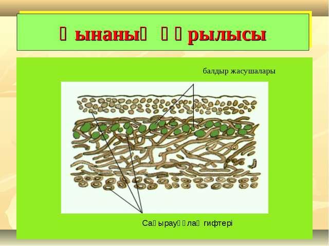 Қынаның құрылысы балдыр жасушалары Саңырауқұлақ гифтері