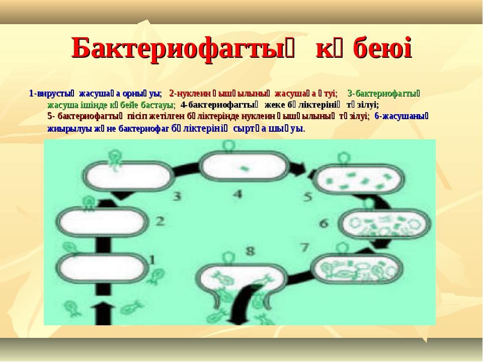 Бактериофагтың көбеюі 1-вирустың жасушаға орнығуы; 2-нуклеин қышқылының жасуш...
