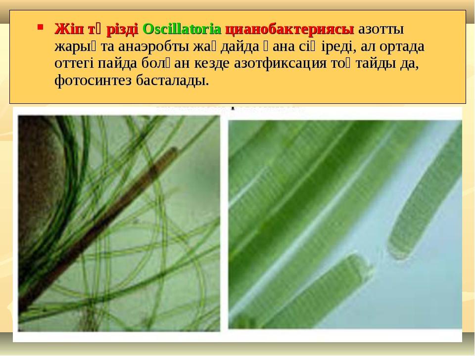 Жіп тәрізді Oscillatoria цианобактериясы азотты жарықта анаэробты жағдайда ға...