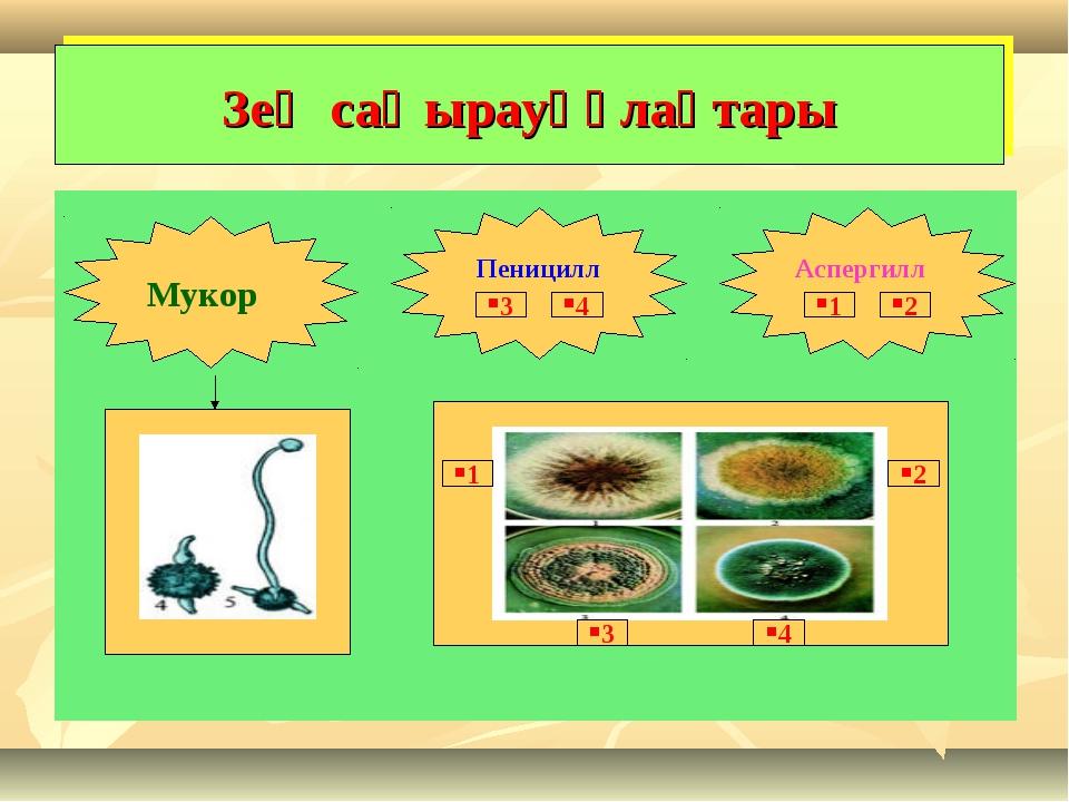 Зең саңырауқұлақтары Мукор Аспергилл Пеницилл 1 2 4 3 1 2 3 4
