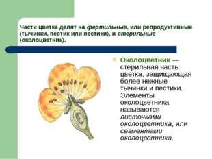 Части цветка делят на фертильные, или репродуктивные (тычинки, пестик или пес