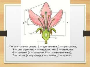 Схема строения цветка: 1 — цветоножка; 2 — цветоложе; 3 — околоцветник; 4 — ч