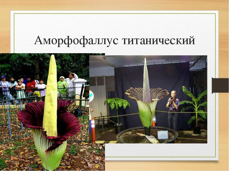 Аморфофаллус цветов