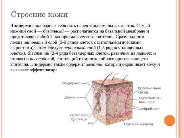 Строение кожи Эпидермисвключает в себя пять слоев эпидермальных клеток. Самы...