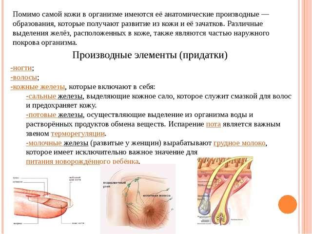 Помимо самой кожи в организме имеются её анатомические производные— образова...