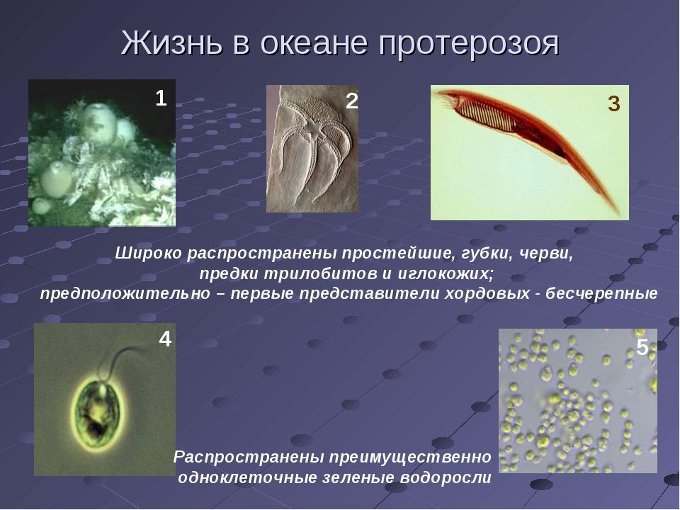 Жизнь в океане протерозоя Широко распространены простейшие, губки, черви, пре...