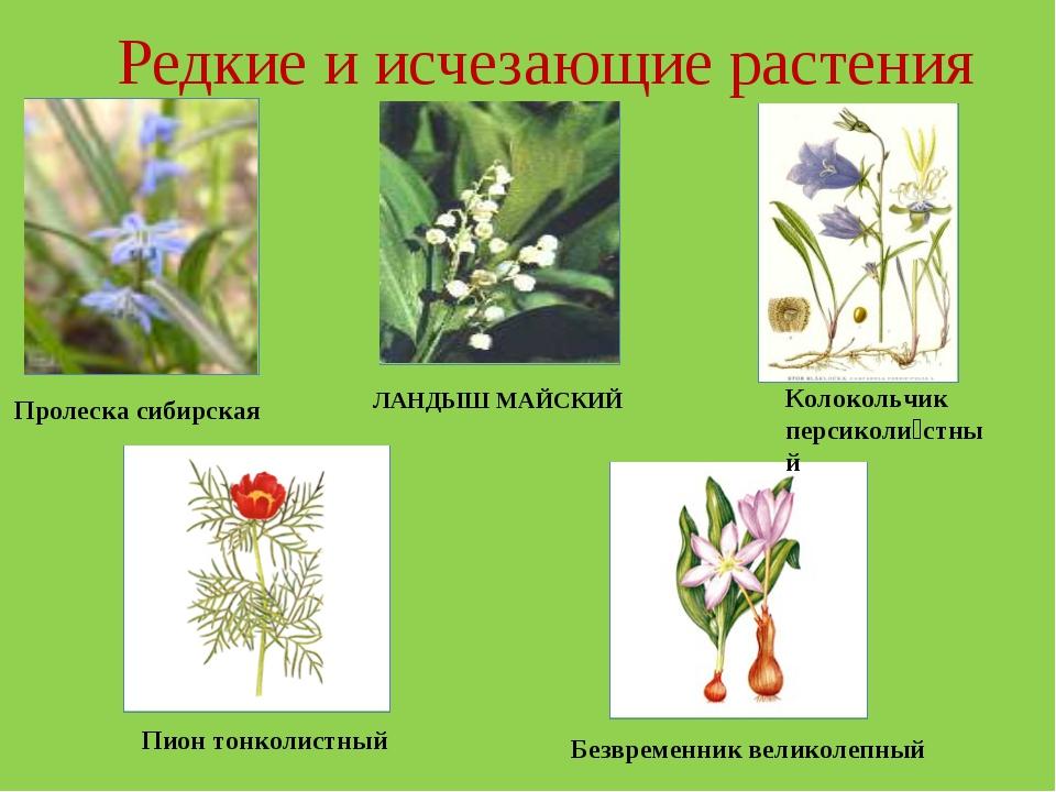 Редкие и исчезающие растения Пролеска сибирская ЛАНДЫШ МАЙСКИЙ Пион тонколист...