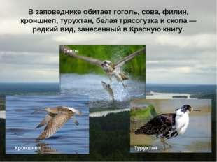 В заповеднике обитает гоголь, сова, филин, кроншнеп, турухтан, белая трясогуз