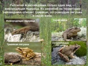 Рептилий в заповеднике только один вид — живородящая ящерица. Из амфибий на т