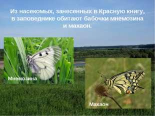 Из насекомых, занесенных в Красную книгу, в заповеднике обитают бабочки мнемо