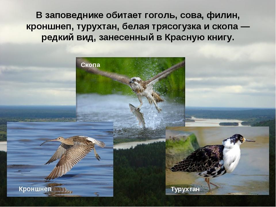 В заповеднике обитает гоголь, сова, филин, кроншнеп, турухтан, белая трясогуз...