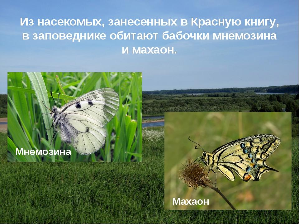 Из насекомых, занесенных в Красную книгу, в заповеднике обитают бабочки мнемо...