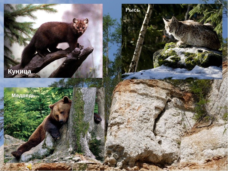 Куница Рысь Медведь