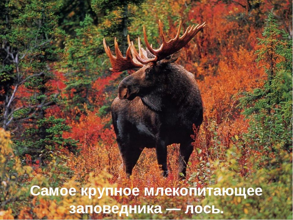 Самое крупное млекопитающее заповедника — лось.