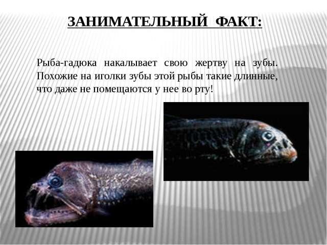Рыба-гадюка накалывает свою жертву на зубы. Похожие на иголки зубы этой рыбы...