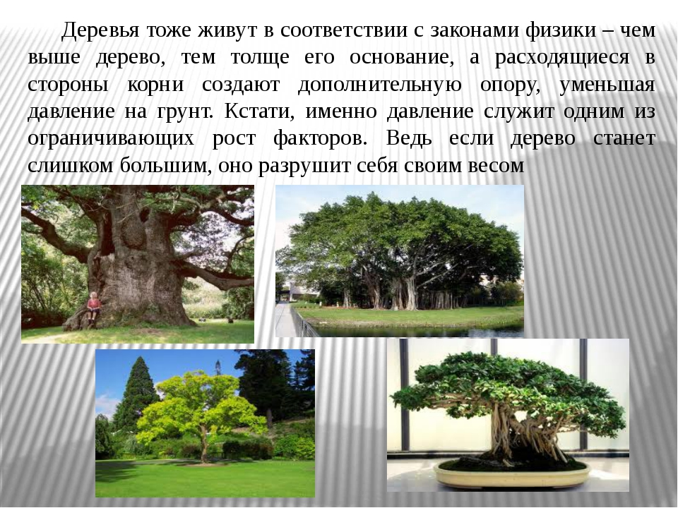 Деревья тоже живут в соответствии с законами физики – чем выше дерево, тем т...