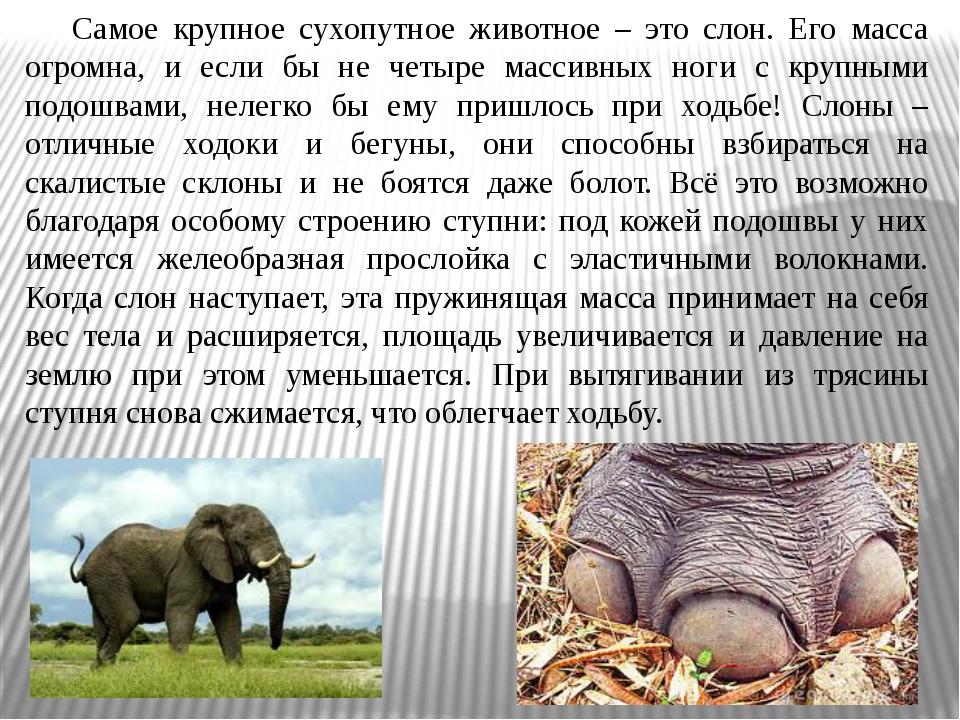 Самое крупное сухопутное животное – это слон. Его масса огромна, и если бы н...