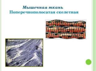 Мышечная ткань Поперечнополосатая скелетная Григорьева Галина Михайловна