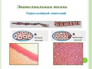 Эпителиальная ткань Однослойный эпителий Григорьева Галина Михайловна